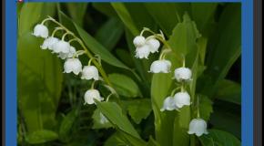 1er mai Une fleur pour les vendeurs de muguet